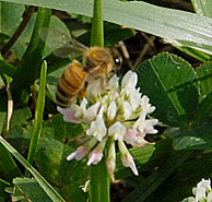 honeybee on clover