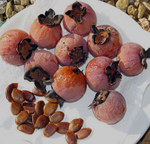 persimmon fruits with seeds
